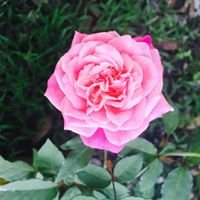 New Orleans Old Garden Rose Society