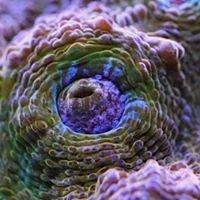 Headie Coral