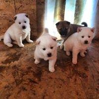 Grevengoed Puppies