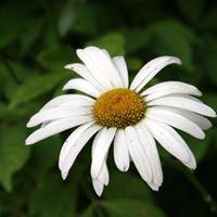 daisies 'n dirt