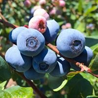 Gold Hill Blueberry Farm