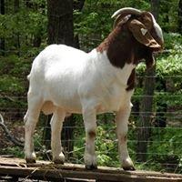 Hubert Wise Boer Goats