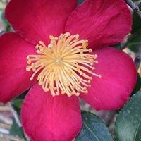 Camellia Societies of So Cal