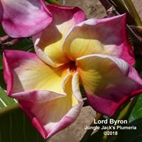 Jungle Jack's Plumerias