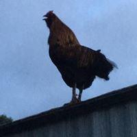 Hot Lips Chicken Ranch at Jonestead Farm