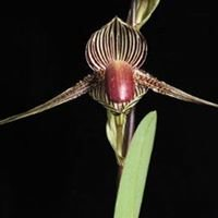 Orchid Species Society of Victoria Inc