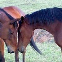 Horses and gear for sale (australia)