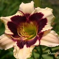 Brister's Daylilies