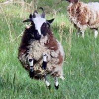 Patchwork Jacob Sheep and Fiber Shop
