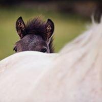 Logierait Highland Ponies