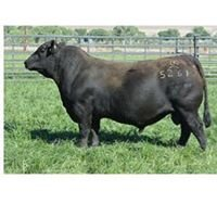 Upchurch Angus Cattle