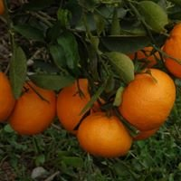 Cítricos Ecológicos Al-Arbuli, SCA