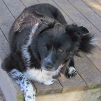 At Home Houston Border Collie Rescue
