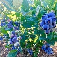 DelEv Blueberry Patch