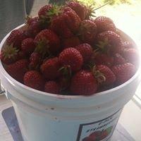 Helvetia Strawberries - Groveland Acres