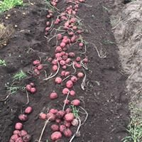 NDSU & U of M Potato Extension