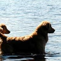 Starhill Golden Retrievers