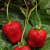 Shenk's Berry Farm