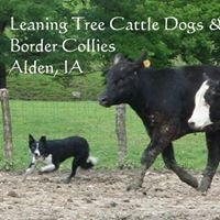 Leaning Tree Cattle Dogs & Border Collies