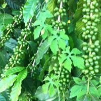 Kona Purple Mountain Coffee