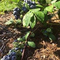 Penn-Can Berry Farm