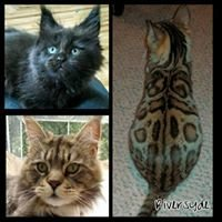 RiverSyde Maine coons & Bengals