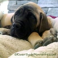River Syde Mastiffs