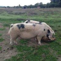 Carrigslaney Pigs