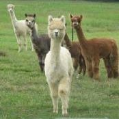 Carmen Acres Alpaca Farm