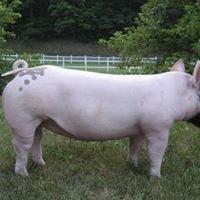 HHF Show Pigs