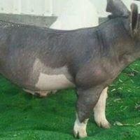 Wyojem Show Pigs