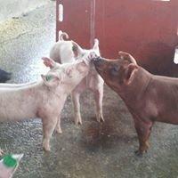 Glarner Farms Show Pigs