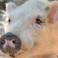 Friends Farm Micro Mini Pigs