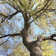 ברנע - משתלת עצי אלון - Barnea Oak Nursery