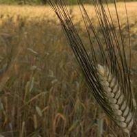 Karakılçık buğdayı