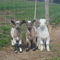 Mini Baa Baa's Nigerian Dwarf Goats