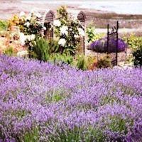 Purple Scent Lavender