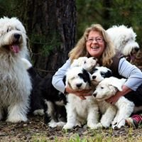 Old English Sheepdogs Of Crow Valley