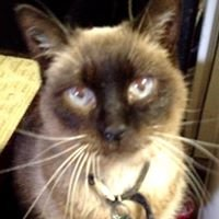 Senior Cats/Declawed Cats of Humane Society Iredell