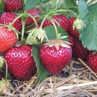 Erdbeerparadies Krähenwinkel