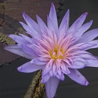 Aqualine Aquatic Plants & Waterfeatures
