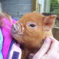 Cornish curly pigs