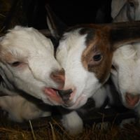 Lucky Acres Dairy Goats