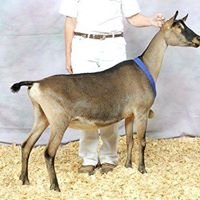 PJ-Baileys' Dairy Goats
