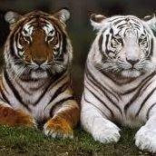 Tiger Wraps