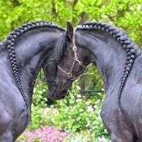 Friesian Horses Hermes