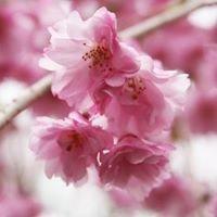 京都 桜の楽園『原谷苑』