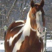 Ok Homozygous Paint Horses