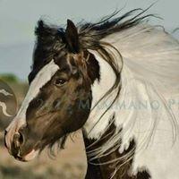Edoras Stables Gypsy Horses