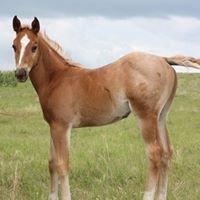 Allen Quarter Horses